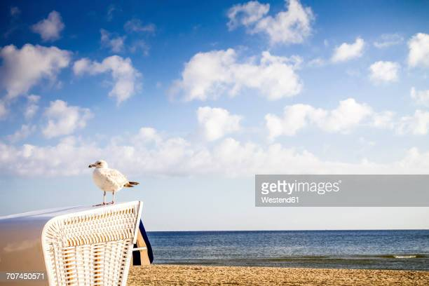 Germany, Usedom Island, Ahlbeck, seagull standing on hooded beach chair at sunlight