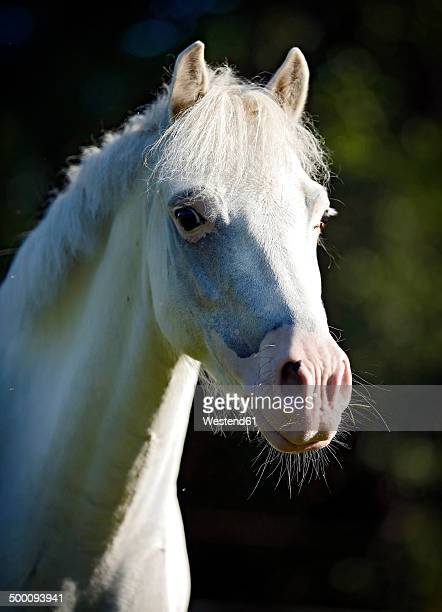 Germany, Welsh Pony, Portrait