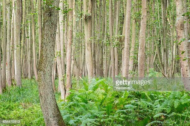 Germany, Western Pomerania Lagoon Area National Park, Darsser Wald, Forest, Black alders, Alnus glutinosa, and ferns, fen wood,