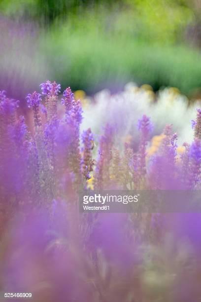 Germany, Wild sage, Salvia nemorosa