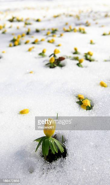 Germany, Winter aconite in snow