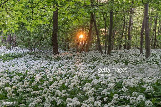 Germany, Wolfenbuettel, blossoming ramson at Elm Nature Park in the evening