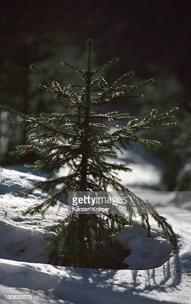 deu, germany: young tree in snow on the hill feldberg in the taunus mountains - baum stock pictures, royalty-free photos & images
