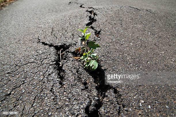 Germayn, North Rhine-Westphalia, Neuss, Plant growing on asphalt