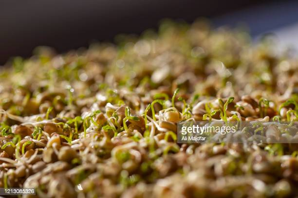 germinating lentil sprout - nowruz stock pictures, royalty-free photos & images