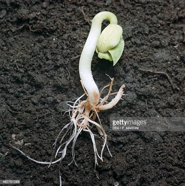 Germination of bean seed , Fabacee.