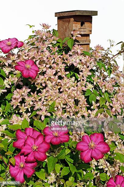 Gesellig wachsende Kletterpflanzen, Clematis oder Waldreben, der Sorten Clematis montana Dusky Star aus Neuseeland mit kleinen hellrosa Blueten,...