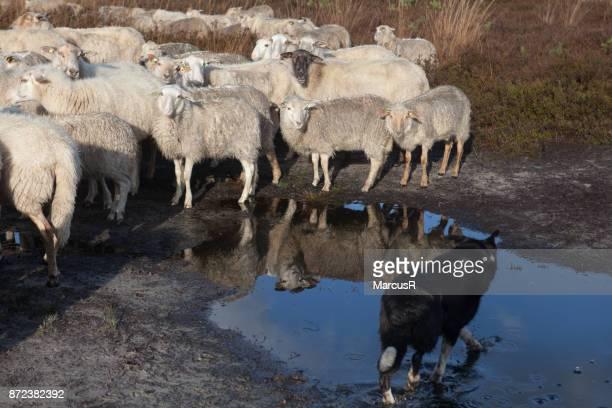 Gespiegeld lam en herdershond