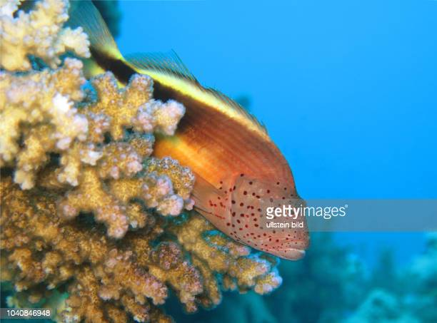 Gestreifter Korallenwaechter , St. Johns Riff, Rotes Meer, Aegypten