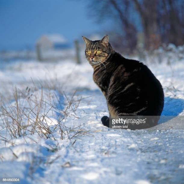 Gestromte Hauskatze lauert im verschneiten Garten