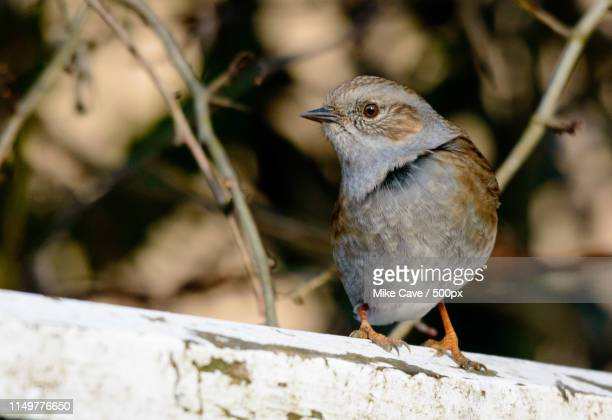 get my good side - dunnock stock pictures, royalty-free photos & images