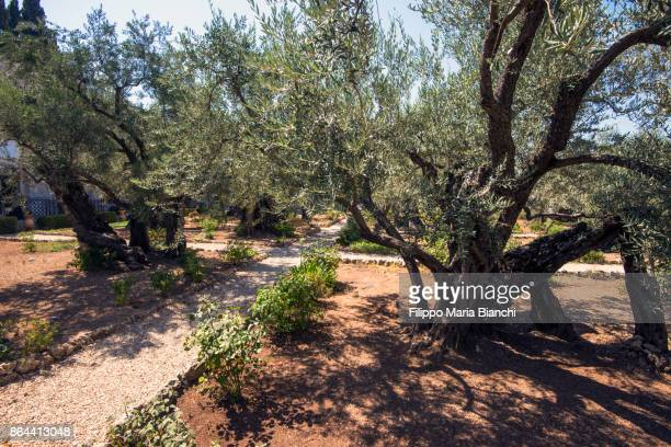gethsemane - garden of gethsemane stock pictures, royalty-free photos & images
