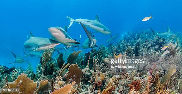getting in each other's way - reef shark stock pictures, royalty-free photos & images