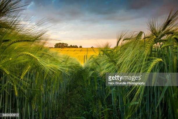 getting low - grain harvest stock pictures, royalty-free photos & images