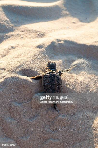 getting out of here! - hawksbill turtle stock pictures, royalty-free photos & images