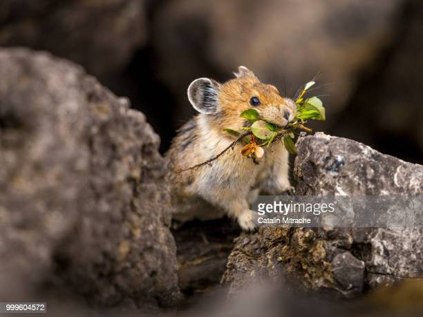 getting ready for winter - pika stock pictures, royalty-free photos & images