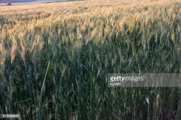 Gezer region, the wheat field at dusk