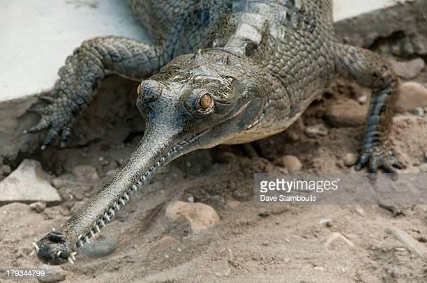 Gharial crocodile in Chitwan National Park, Nepal
