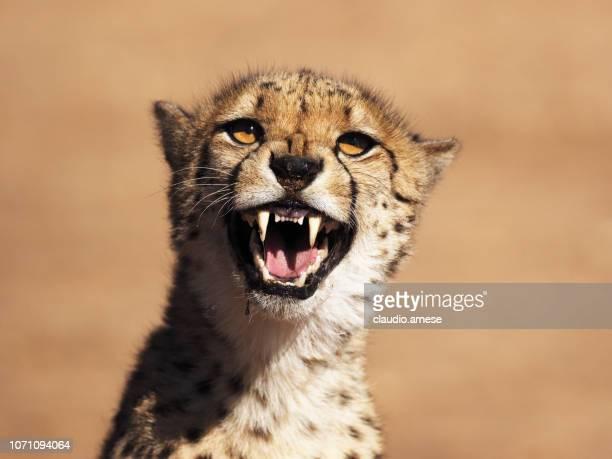ghepard en la naturaleza - felino fotografías e imágenes de stock