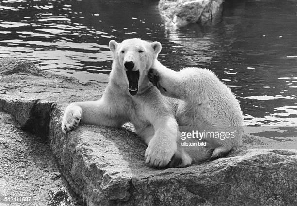 Gähnender Eisbär im Berliner Zoo- veröff. BM, 1971
