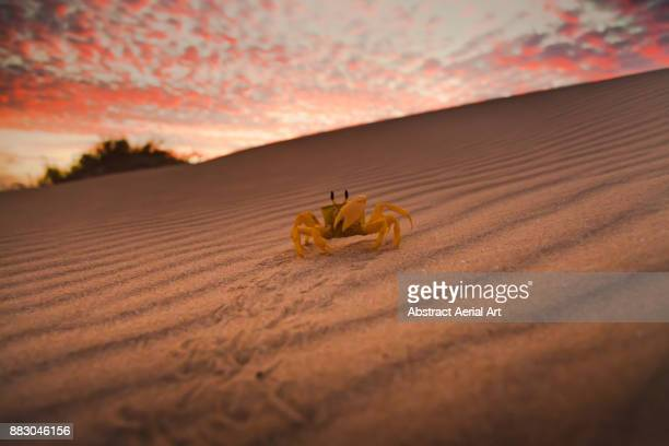 ghost crab - crab stock photos and pictures