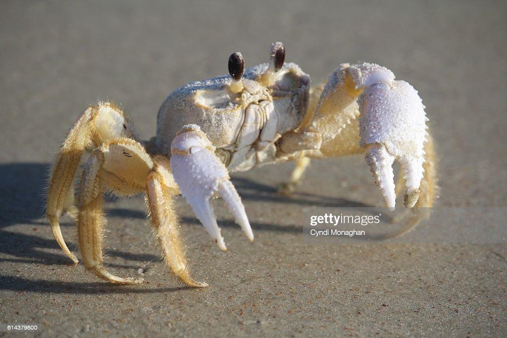 Ghost Crab Portrait : Stock Photo