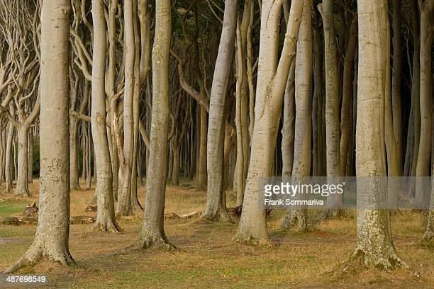 Ghost Forest, beech forest, European Beech or Common Beech trees -Fagus sylvatica-, Nienhagen, Mecklenburg-Western Pomerania, Germany