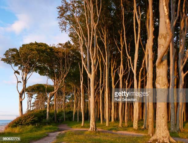 ghost forest on coastline, mecklenburg-west pomerania, germany - mecklenburg vorpommern stock pictures, royalty-free photos & images