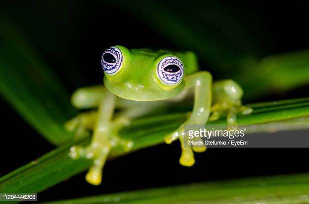 ghost glass frog - centrolene ilex in rainforest, rara avis reserve - marek stefunko stock pictures, royalty-free photos & images