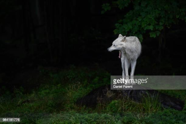 ghostly scream... - loup blanc photos et images de collection