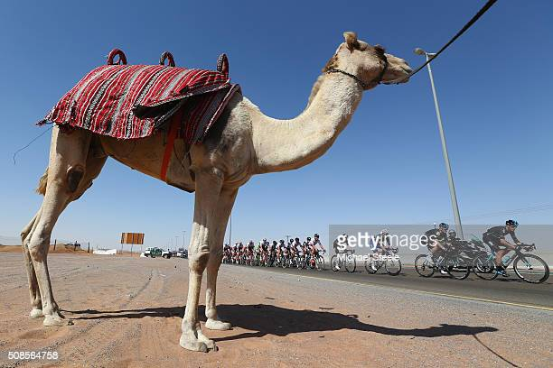 Gianni Moscon of Italy and Team Sky leads the peloton past a camel during the Westin Stage Three of the Tour of Dubai on February 5 2016 in Dubai...