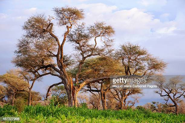Giant acacia trees in the savannah