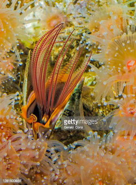 giant acorn barnacle feeding using cirri, balanus nubilus,   monterey, california; arthropoda; crustacea; thoracica; balanidae - barnacle stock pictures, royalty-free photos & images