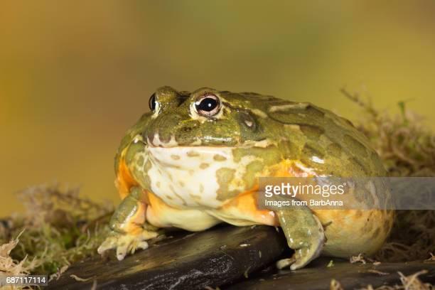Giant African Bullfrog