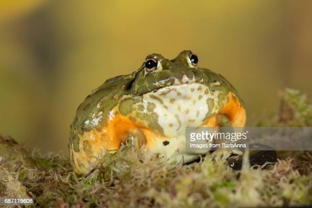 giant african bullfrog - bullfrog stock pictures, royalty-free photos & images
