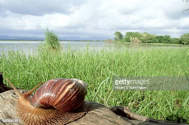giant african land snail: achatina achatina  mkuze  zululand - giant african land snail stock pictures, royalty-free photos & images