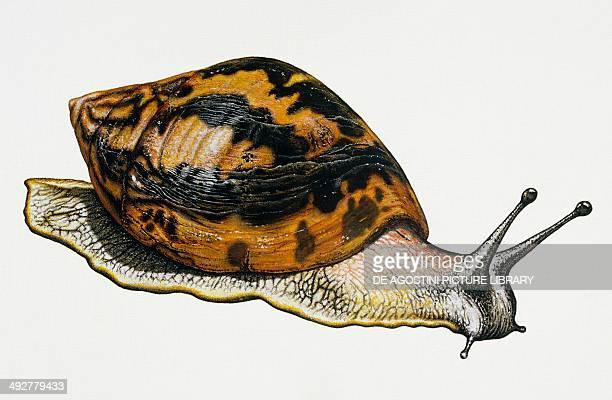 Giant african land snail Achatinidae Artwork by Neil Lloyd