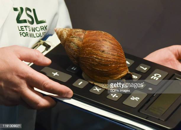 Giant African land snail being counted at the ZSL London Zoo Annual Stock-take in London.