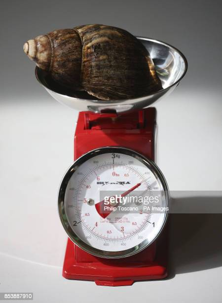 A giant African land snail gets weighed at the annual London Zoo weighin where animals are weighed and measured
