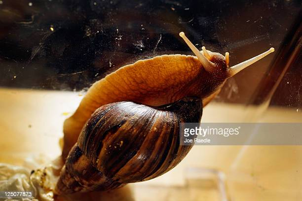 Giant African land snail is seen as the Florida Department of Agriculture and Consumer Services announces it has positively identified a population...