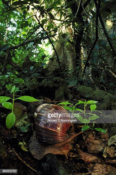 giant african land snail - giant african land snail stock pictures, royalty-free photos & images