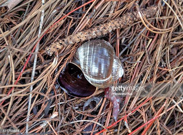 giant african land snail shell - giant african land snail stock pictures, royalty-free photos & images