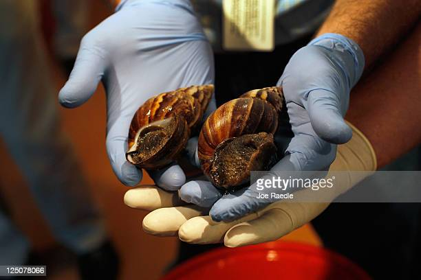 Giant African land snails are shown to the media as the Florida Department of Agriculture and Consumer Services announces it has positively...