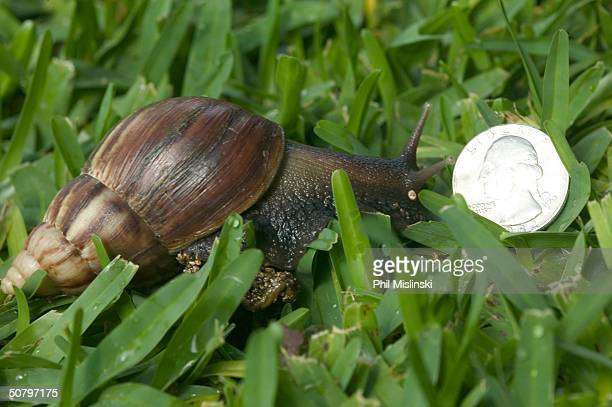 Giant African Snail is shown next to a quarter in a garden May 3 2004 on Oahu's North Shore Hawaii The invasive species is common on Oahu and has...