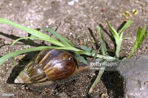 Giant African Snail native to east Africa moves along the Kealea hiking trail May 18 2004 in Waialua Hawaii The Invasive species of snail also found...