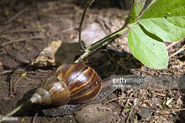 Giant African Snail native to east Africa moves tword a leaf along the Kealea hiking trail May 18 2004 in Waialua Hawaii The Invasive species of...