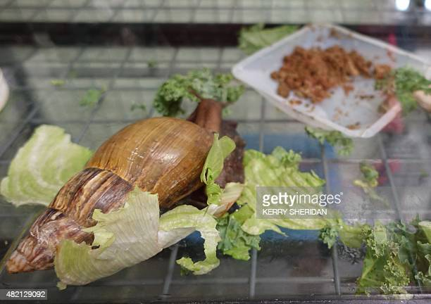 Giant African Snails shown here on July 17 2015 in a Miami Department of Agriculture lab are illegal to keep as pets in Florida They eat 500 kinds of...