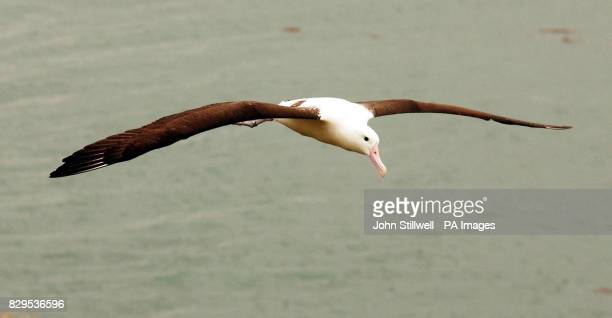 A giant Albatross swoops over head of the Prince of Wales