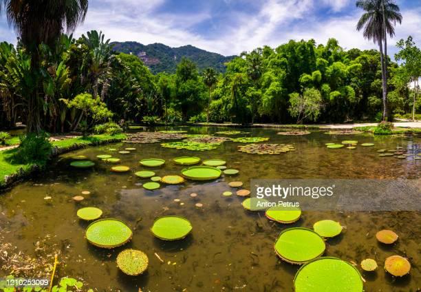 giant amazonian victoria water lily pads in a pond in the botanic gardens in rio de janeiro, brazil - jardim botânico - fotografias e filmes do acervo