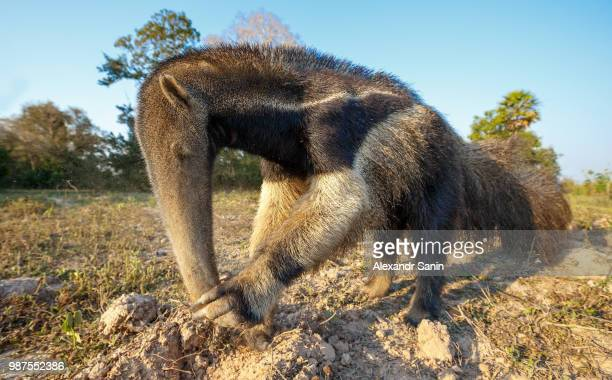 giant ant eater - anteater stock pictures, royalty-free photos & images